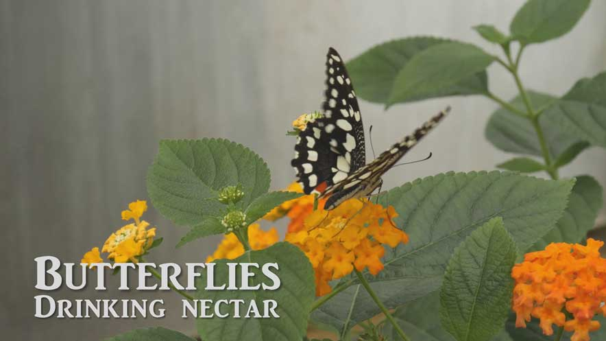 Original music composed shows a black and white butterfly on an orange flower